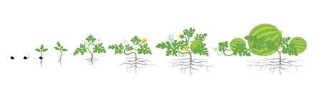 Growth stages of watermelon plant. Vector illustration. Citrullus lanatus. Watermelon life cycle. On white background. Plant species in the family Cucurbitaceae.