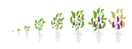 Growth stages of eggplant plant. Vector illustration. Solanum melongena. Aubergine, brinjal life cycle. Botanically infographic on white background. Plant species in the nightshade family Solanaceae