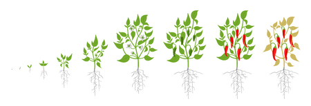 Growth stages of red chili pepper plant. Vector illustration. Capsicum annuum. Cayenne pepper life cycle. On white background. Also chile, chile pepper and chilli pepper, or chilli.