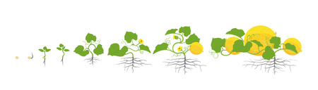 Growth stages of melon plant. Vector illustration. Cucumis melo. Melon cantaloupe life cycle. On white background. Plant species in the family Cucurbitaceae.