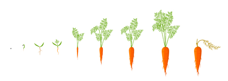 Growth stages of carrot plant. Vector illustration. Daucus carota. Orange carrots tap root vegetable botany life cycle. Harvest cultivation and development. On white background. Ilustrace