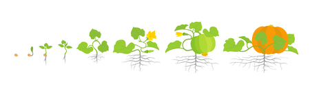 Growth stages of pumpkin plant. Vector illustration. Cucurbita cucurbitaceae. Pumpkin life cycle. On white background. Plant species in the family Cucurbitaceae.