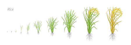 Growth stages of rice plant. Rice increase phases. Oryza sativa. Ripening period. The life cycle. Use fertilizers. On white background. Vector illustration.