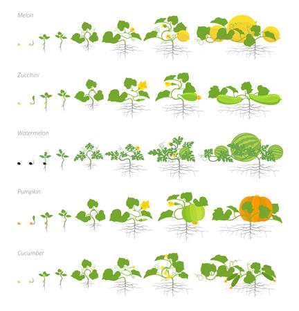 Insieme di fasi di crescita piante cucurbitacee. Zucca melone e anguria zucchine o zucchina e pianta di cetriolo. Ciclo vitale. Illustrazione vettoriale piatto stock clipart. Vettoriali