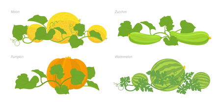 Set of cucurbitaceae plants. Pumpkin melon and watermelon zucchini or courgette and cucumber plant. Vector illustration flat stock clipart.