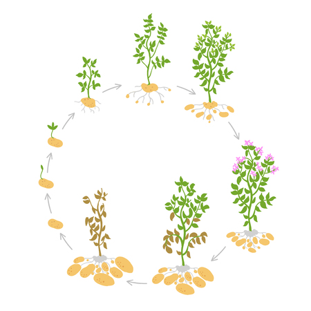 The life cycle crop stages of potato. Vector Illustration. Circular growing plants. Round harvest growth biology. Solanum tuberosum. Spud murphy tubers. On white background. Ilustrace