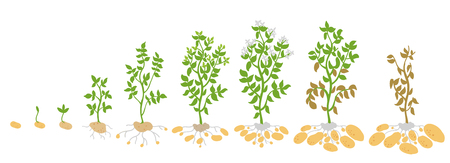 Crop stages of potato. Vector Illustration growing plants. The life cycle. Harvest growth biology. Solanum tuberosum. Spud murphy tubers. On white background. Ilustrace