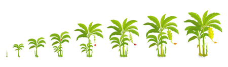 Crop cycle for banana tree. Crop stages bananas palm. Vector Illustration growing plants. Harvest growth biology. Musa acuminata. Musaceae cultivars On white background.