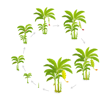 Crop cycle for banana tree. Crop stages bananas palm. Vector Illustration Circular growing plants. Round harvest growth biology. Musa acuminata cultivars. On white background.