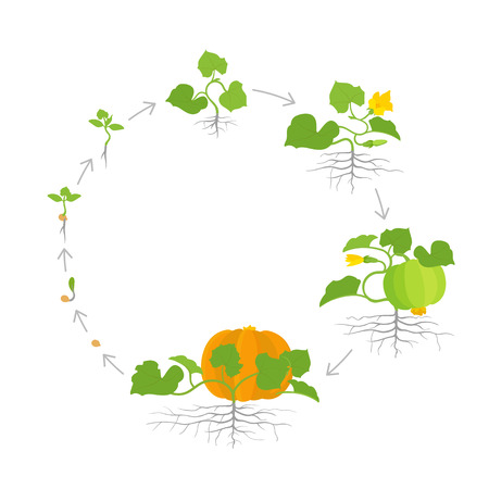 Crop of pumpkin plant. Circular round growth stages. Vector illustration. Cucurbita cucurbitaceae. Pumpkin life cycle. On white background. Vectores