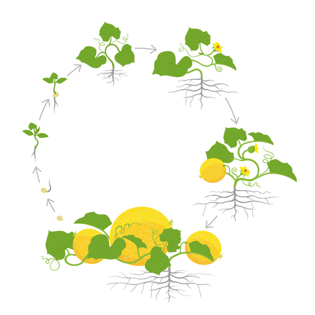 Crop of melon plant. Circular round growth stages. Vector illustration. Cucumis melo. Melon cantaloupe life cycle. On white background. Plant species in the family Cucurbitaceae.