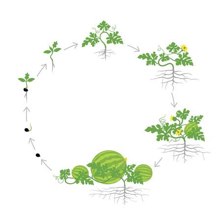 Ernte der Wassermelonenpflanze. Kreisrunde Wachstumsstadien. Vektor-Illustration. Citrullus lanatus. Lebenszyklus von Wassermelonen. Auf weißem Hintergrund. Pflanzenarten in der Familie Kürbisgewächse. Vektorgrafik