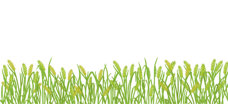 Cereal field banner background of green Rye plant grass. Barley vector illustration. Wheat or harvest plant grass. Agricultural production on white background