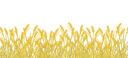 Cereal field banner background. Yellow gold autumn Rye plant grass. Barley vector illustration. Wheat harvest plant. Agricultural production on white background