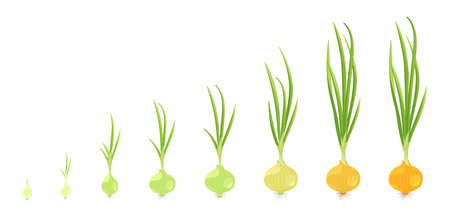 Crop stages of onion. Vector Illustration growing onion plants. Bulbs life cycle. Harvest growth biology. Allium. On white background. Vector flat colorful.