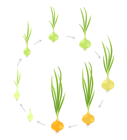 Crop stages of onion. Circular round growing onion plants. Bulbs life cycle. Harvest growth biology. Allium. On white background. Vector Illustration flat colorful. Ilustrace