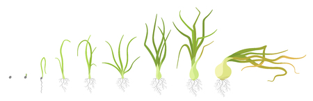 Crop stages of onion. Growing onion plants. Bulbs life cycle. Harvest growth biology. Allium vector colorful flat Illustration on white background.