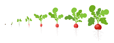 Growth stages of Radish plant. Vector illustration. Raphanus raphanistrum. Radishes taproot life cycle. On white background. Salad vegetable.