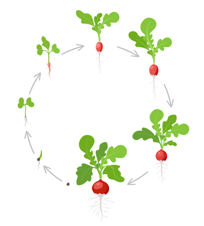 Round growth stages of Radish plant. Vector flat illustration. Raphanus raphanistrum. Radishes taproot circular grown life cycle.