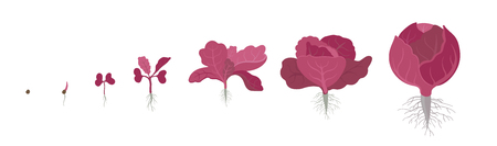Crop stages of red cabbage. Also known as purple cabbage, red kraut, or blue kraut. Purple-leaved varieties of Brassica oleracea. Vector flat Illustration. Organic life cycle. Growing cabbage plants on white background.