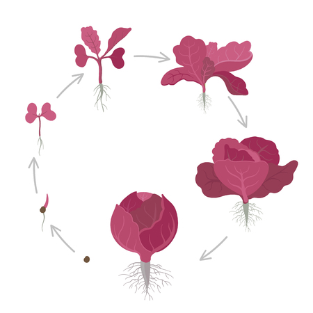 Round crop stages of red cabbage. Purple cabbage, red kraut, or blue kraut. Vector flat Illustration. Organic life cycle. Circular growing cabbage plants. Purple-leaved varieties of Brassica oleracea on white background. Ilustrace