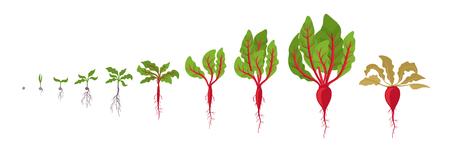 ビートの成長段階。赤ビートルート植物の植え付け。ベクターの図。ベータ・スガルリス。ビートタップルートのライフサイクル。白い背景に。テーブルビート、ガーデンビート、赤いビートまたは金色のビートとしても知られています。 ベクターイラストレーション