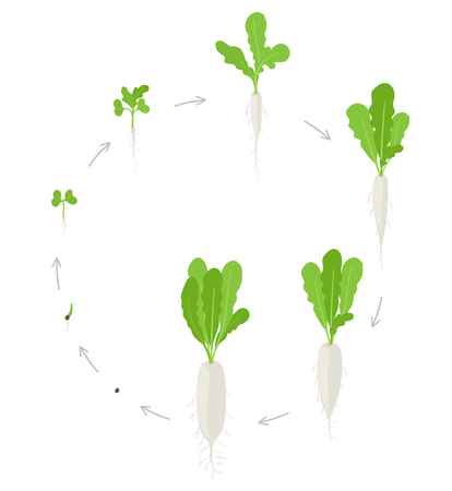 Round crop Daikon growth stages. Planting of long white winter radish plant. Circular Daikon life cycle. Vector illustration on white background.