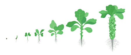 Crop stages of Brussels sprout cabbage. Growing brussels sprout miniature cabbages plant. Harvest growth vegetable. Brassica oleracea vector flat Illustration.