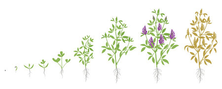 Growth stages of Alfalfa plant. Vector flat illustration. Medicago sativa. Lucerne grown life cycle. 向量圖像