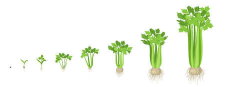 Crop stages of Celery. Growing Celery plant. Harvest growth vegetable. Apium graveolens. Vector flat Illustration.