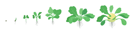 Crop stages of Kohlrabi cabbage turnip. Growing Kohlrabi plant. Harvest growth vegetable. Brassica oleracea. Vector flat Illustration.