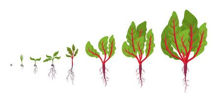 Étapes de croissance de la bette. Plantation de tiges de feuilles. Cycle de vie de la racine pivotante de la bette à carde. Illustration vectorielle sur fond blanc. Bêta vulgaris. Vecteurs