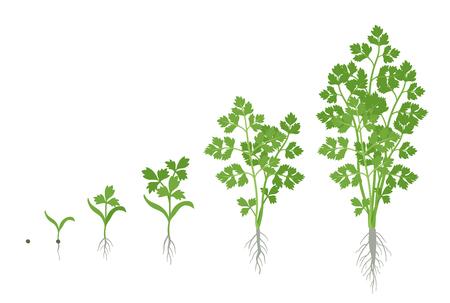 Etapas de cultivo del perejil. Planta de perejil de jardín en crecimiento. Crecimiento de la cosecha. Petroselinum crispum. Vector ilustración plana.
