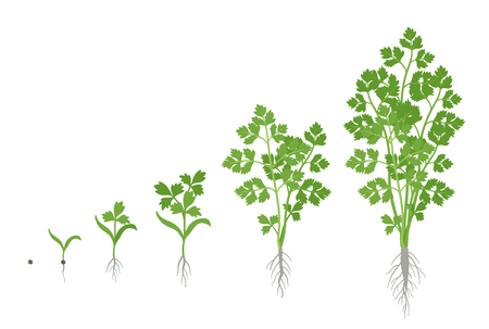 Fasi di coltivazione del prezzemolo. Pianta di prezzemolo da giardino in crescita. Crescita del raccolto. Petroselinum crispum. Illustrazione piana di vettore.
