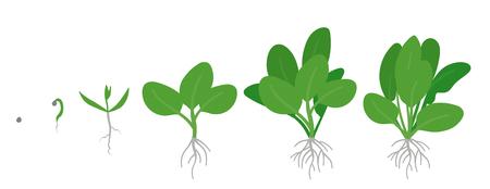Stades de culture des épinards. Plante d'épinards en croissance. Croissance de légumes à feuilles vertes. Spinacia oleracea. Illustration de plat de vecteur.