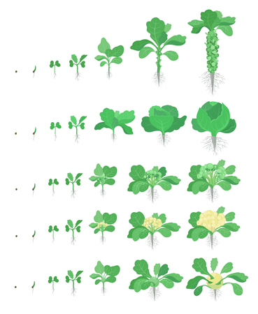 Cabbage set. Brussels sprout, Broccoli Kohlrabi Cauliflower kinds of cabbage. Crop stages planting cabbages plant. Harvest growth vegetable. Brassica oleracea vector flat Illustration. Illusztráció