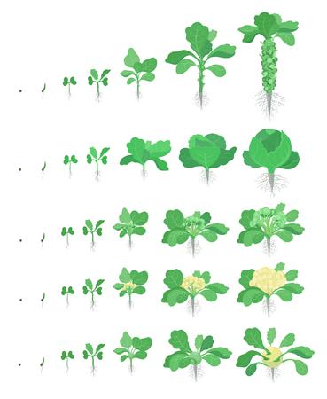 Kohl-Set. Rosenkohl, Brokkoli Kohlrabi Blumenkohlsorten Kohl. Erntestadien, die Kohlpflanzen anpflanzen. Wachstumsgemüse ernten. Brassica oleracea-Vektor-flache Illustration.