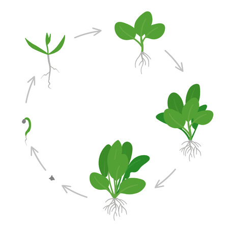Round crop stages of Spinach. Circular growing Spinach plant. Life cycle. Green leafy vegetable gardening. Spinacia oleracea. Vector flat Illustration on white background.
