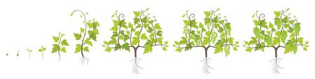 Etapas de crecimiento de la planta de uva. Fases de aumento de plantación de viñedos. Ilustración vectorial. Vitis vinifera cosechada. Periodo de maduración. El ciclo de vida. Uvas sobre fondo blanco.