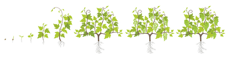 Growth stages of grape plant. Vineyard planting increase phases. Vector illustration. Vitis vinifera harvested. Ripening period. The life cycle. Grapes on white background. Vettoriali