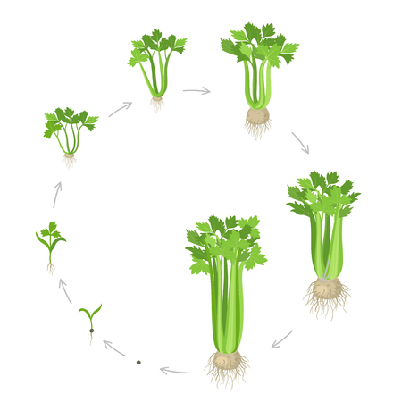 Crop stages of Celery. Growing Celery plant. Circular life cycle. Gardening harvest vegetable. Apium graveolens. Vector flat Illustration on white background.