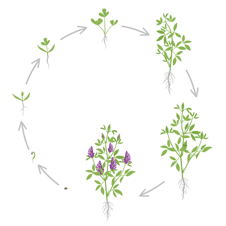 Round growth stages of Alfalfa plant. Vector flat illustration. Medicago sativa. Lucerne grown. Circular life cycle. Important forage crop used for grazing, hay and silage, as well as a green manure and cover crop.