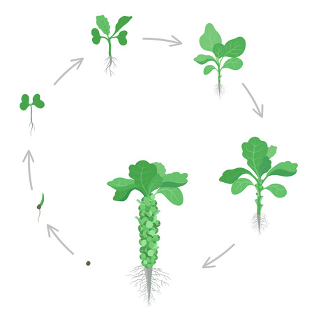 Round crop stages of Brussels sprout cabbage. Circular growing brussels sprout miniature cabbages plant. Harvest growth vegetable. Brassica oleracea vector flat Illustration.