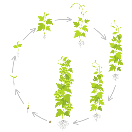 Round crop stages of hop. Growing hop cones plant phase. Planting lupulus humulus. Circular life cycle gardening. Vector flat Illustration. Lupulus is widely cultivated for use by the brewing industry.