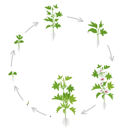 Round crop stages of Okra. Growing Okra plant edible green seed pods. Circular life cycle. Gardening harvest vegetable. Abelmoschus esculentus. Vector flat Illustration on white background.