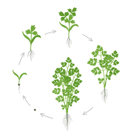 Crop stages of parsley. Growing garden parsley plant. Circular life cycle. Gardening harvest. Petroselinum crispum. Vector flat Illustration on white background. Cultivated as a herb, a spice, and a vegetable. Ilustrace
