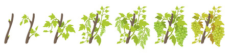 Growth stages of vine grape plant. Vineyard planting phases. Vector illustration. Vitis vinifera harvested. Ripening period. Vine life cycle. Grapes on white background. Иллюстрация