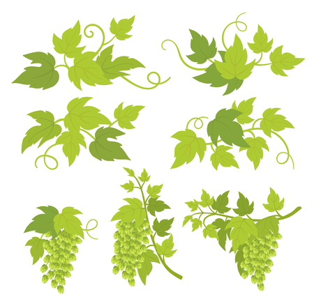 Hop plant decorative elements. Hop green leaves and cones. Lupulus humulus. Vector flat Illustration for brewing bar beer shop advertising. Isolated transparent background template.