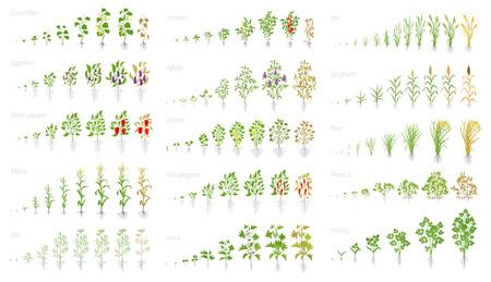 Landwirtschaftliche Pflanze, Animation des Wachstumssatzes. Gurken-Tomaten-Auberginen-Pfeffer-Mais-Korn und viele andere. Vektor, der den Fortschritt der wachsenden Pflanzen zeigt. Wachstumsstadien, die flache Cliparts pflanzen.