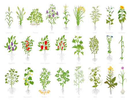Agricultural plant icon set. Vector farm plants. Growth planting popular vegetables set. Flat stock clipart. Cereals wheat alfalfa corn rice soybeans lentils sunflower eggplant tomato pepper okra flax cotton and many other. Vettoriali